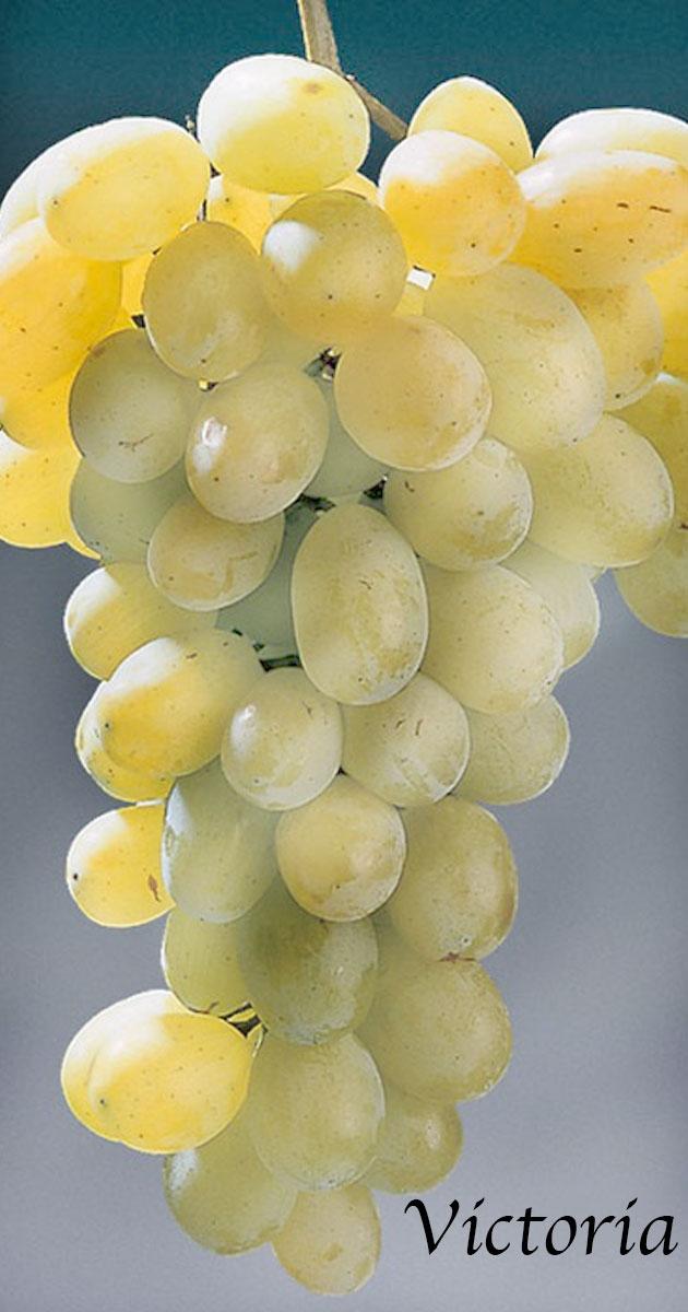 Variet vivai fava - Vivai rauscedo uva da tavola ...