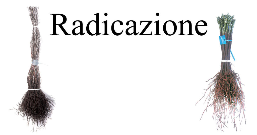 Radicazione-WP