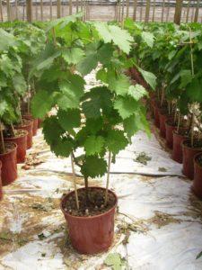 produzione vitigni